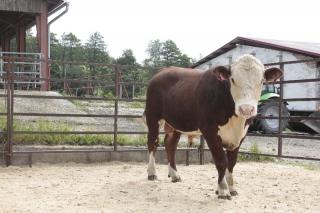 býk HRP637